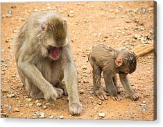 Mother And Child Macaque Acrylic Print by Laura Palmer