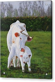 Mother And Her Calf Acrylic Print by Lepercq Veronique