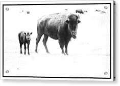 Mother Bison And Her Calf Acrylic Print by Melany Sarafis