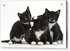 Mother Cat With Two Kittens Acrylic Print by Mark Taylor
