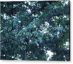 Mother Cedar Acrylic Print