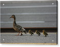 Mother Duck And Babies Acrylic Print