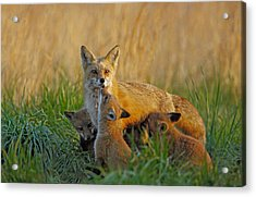 Acrylic Print featuring the photograph Mother Fox And Kits by William Jobes