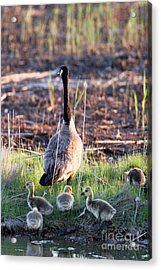 Mother Goose And Goslings Acrylic Print