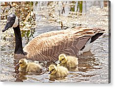 Mother Goose And Goslings Acrylic Print by Natural Focal Point Photography