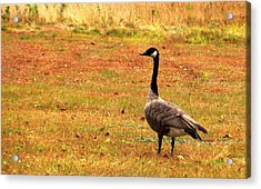 Mother Goose Fall Foliage Tours Acrylic Print