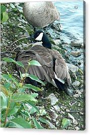 Mother Goose Acrylic Print by Nicki Bennett