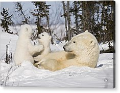 Mother Polar Bear Watches Her Cubs Play Acrylic Print