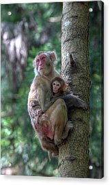 Mother Rhesus Macaque And Baby Acrylic Print