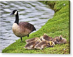 Mother With Goslings Acrylic Print by Jason Politte
