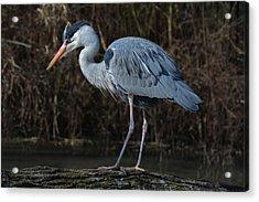 Motionless Grey Heron Acrylic Print by Joachim G Pinkawa
