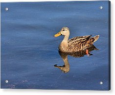 Mottled Duck Reflected Acrylic Print by Rosalie Scanlon