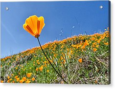 Mount Diablo Poppy Field Acrylic Print by Robert Rus