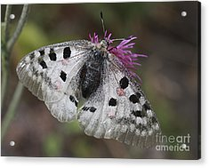 Mountain Apollo Parnassius Apollo Acrylic Print by Amos Dor