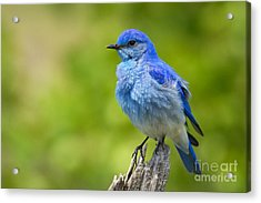 Mountain Bluebird Acrylic Print by Aaron Whittemore