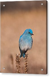 Acrylic Print featuring the photograph Mountain Bluebird by Cascade Colors