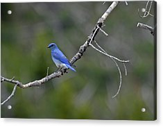 Mountain Bluebird In Yellowstone National Park Acrylic Print by Bruce Gourley