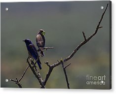 Mountain Bluebird Pair Acrylic Print by Mike  Dawson