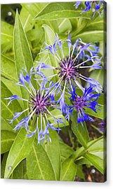 Mountain Bluet Flowers Acrylic Print by Keith Webber Jr