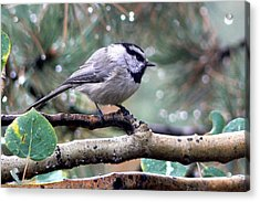 Mountain Chickadee On A Rainy Day Acrylic Print