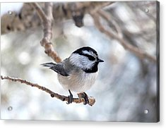 Mountain Chickadee On Branch Acrylic Print