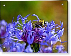 Mountain Cornflower And Bumble Bee Acrylic Print by Byron Varvarigos