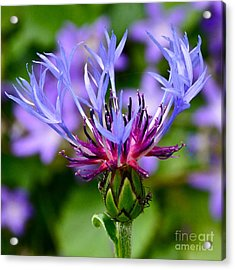 Mountain Cornflower Close Up Acrylic Print by Byron Varvarigos