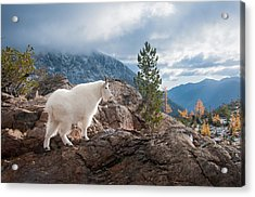 Acrylic Print featuring the photograph Mountain Goat by Brian Bonham
