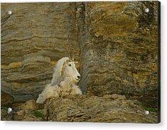 Mountain Goat Acrylic Print by Jeff Swan