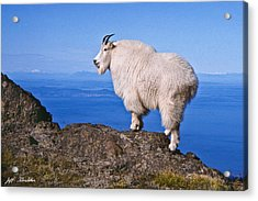 Acrylic Print featuring the photograph Mountain Goat On Klahane Ridge by Jeff Goulden