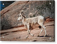 Big Horn Sheep Acrylic Print by Tyson and Kathy Smith