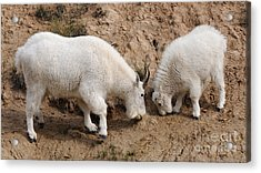 Acrylic Print featuring the photograph Mountain Goats At The Salt Lick by Vivian Christopher