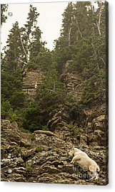 Mountain Goats In Glacier 2 Acrylic Print by Natural Focal Point Photography