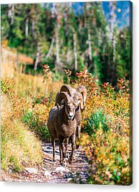 Mountain Goats Acrylic Print by Rohit Nair