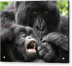 Mountain Gorilla Adf2 Acrylic Print by David Beebe