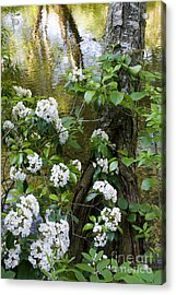Mountain Laurel 1 Acrylic Print