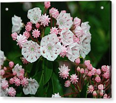 Mountain Laurel Acrylic Print