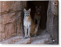 Acrylic Print featuring the photograph Mountain Lion 1 by Arterra Picture Library