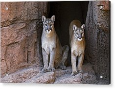Acrylic Print featuring the photograph Mountain Lion 2 by Arterra Picture Library