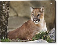 Mountain Lion  Acrylic Print by Brian Cross