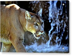 Mountain Lion Acrylic Print by Deena Stoddard