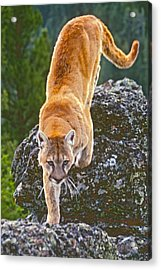 Acrylic Print featuring the photograph Mountain Lion by Judi Baker