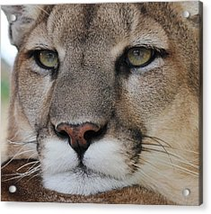 Mountain Lion Portrait 2 Acrylic Print