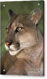 Acrylic Print featuring the photograph Mountain Lion Portrait Wildlife Rescue by Dave Welling