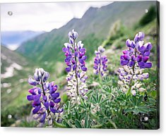 Mountain Lupine Acrylic Print