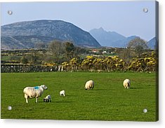 Mourne Mountains Near Kilkeel Acrylic Print by Jane McIlroy