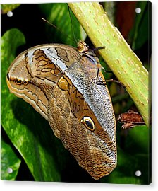 Acrylic Print featuring the photograph Mournful Owl Butterfly by Amy McDaniel