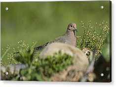 Mourning Dove 1 Acrylic Print by David Lester
