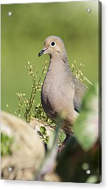 Mourning Dove 2 Acrylic Print by David Lester