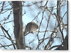 Acrylic Print featuring the photograph Mourning Dove by Dacia Doroff